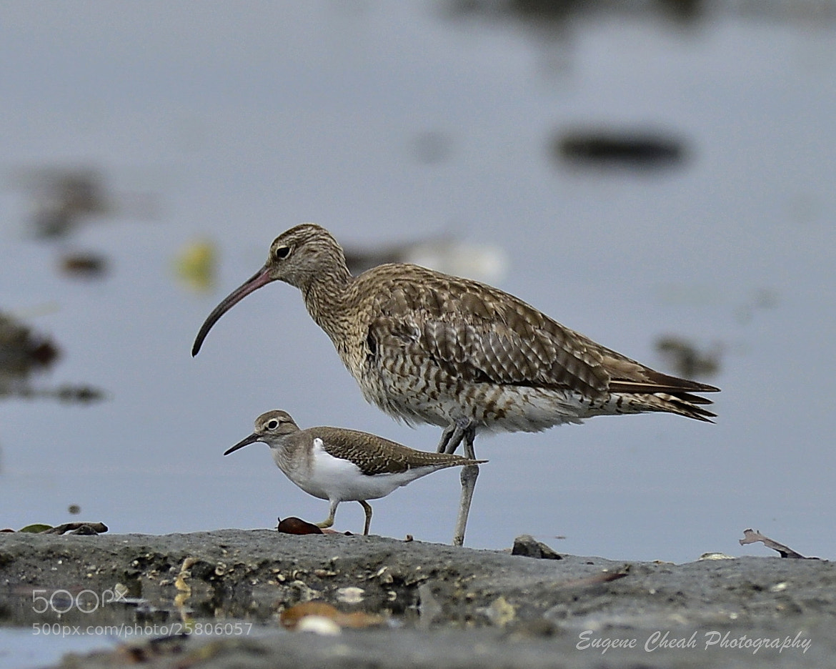 Photograph Whimbrel and common sandpiper by Eugene Cheah on 500px