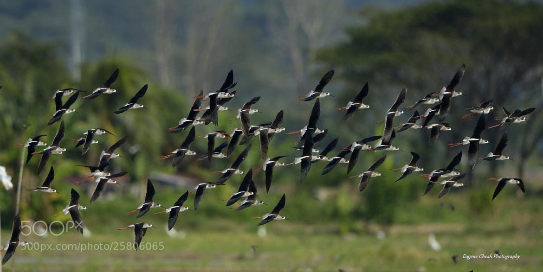 Photograph Flocks of Black-winged Stilt by Eugene Cheah on 500px