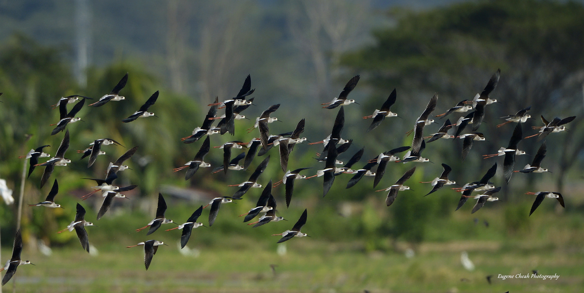 Photograph Flocks of Black-winged Stilt by Eugene Cheah on 500px