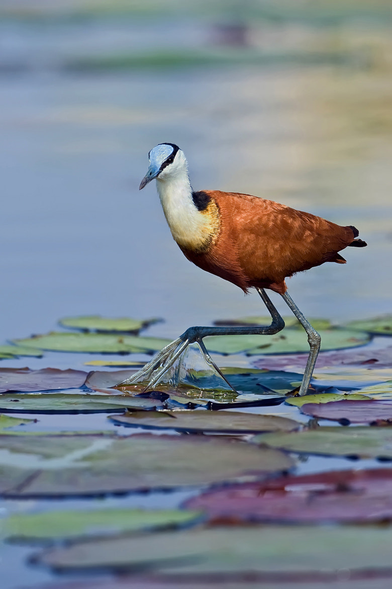 Photograph Jacana Monet by Marc MOL on 500px