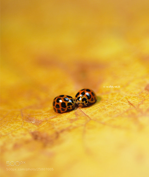 Photograph Common Spotted Ladybugs by Niko Vass on 500px