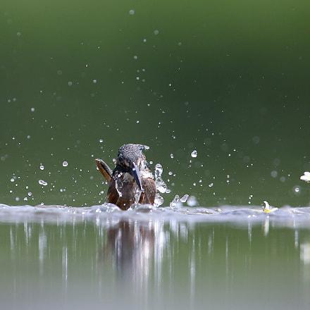 물총새 사냥, Canon EOS-1D X, Canon EF 600mm f/4L IS
