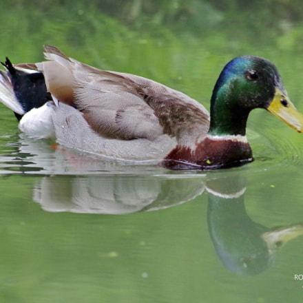 Duck, Pentax K-30
