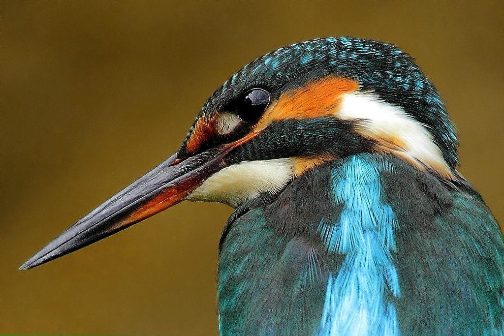 Photograph kingfisher portrait by wise photographie on 500px