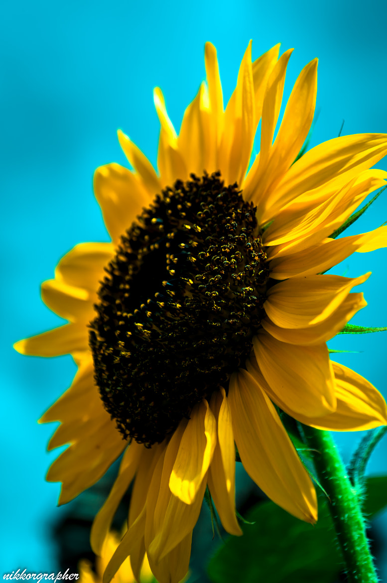 Photograph SunFlower by UdhabKc (nikkorgrapher) on 500px