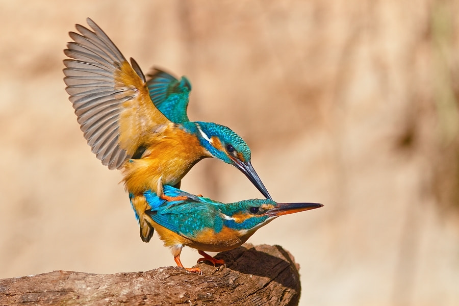 Photograph Kingfisher by Evzen Takac on 500px