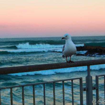 St Clair Seagull, Canon EOS 3000D