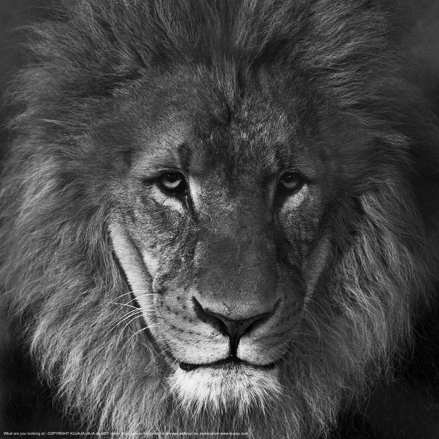 Photograph Lion - what are you looking at? by K J on 500px