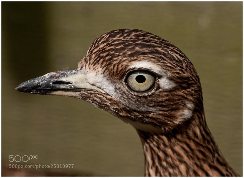 Photograph Thick Knee by Cor Pijpers on 500px