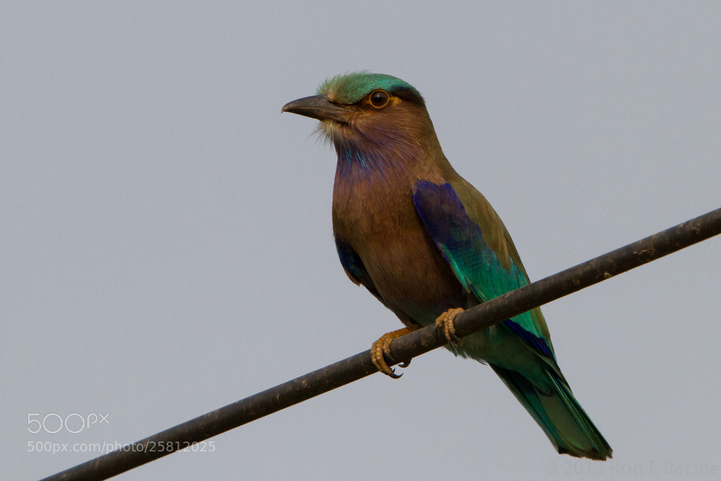 Photograph Indian Roller by Ron E Racine on 500px