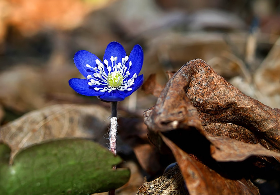 Photograph Hepatica nobilis by Tinx  on 500px