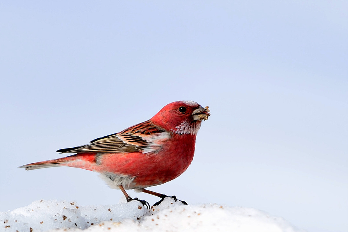 Photograph Pallas's Rosefinch by Young Sung Bae on 500px
