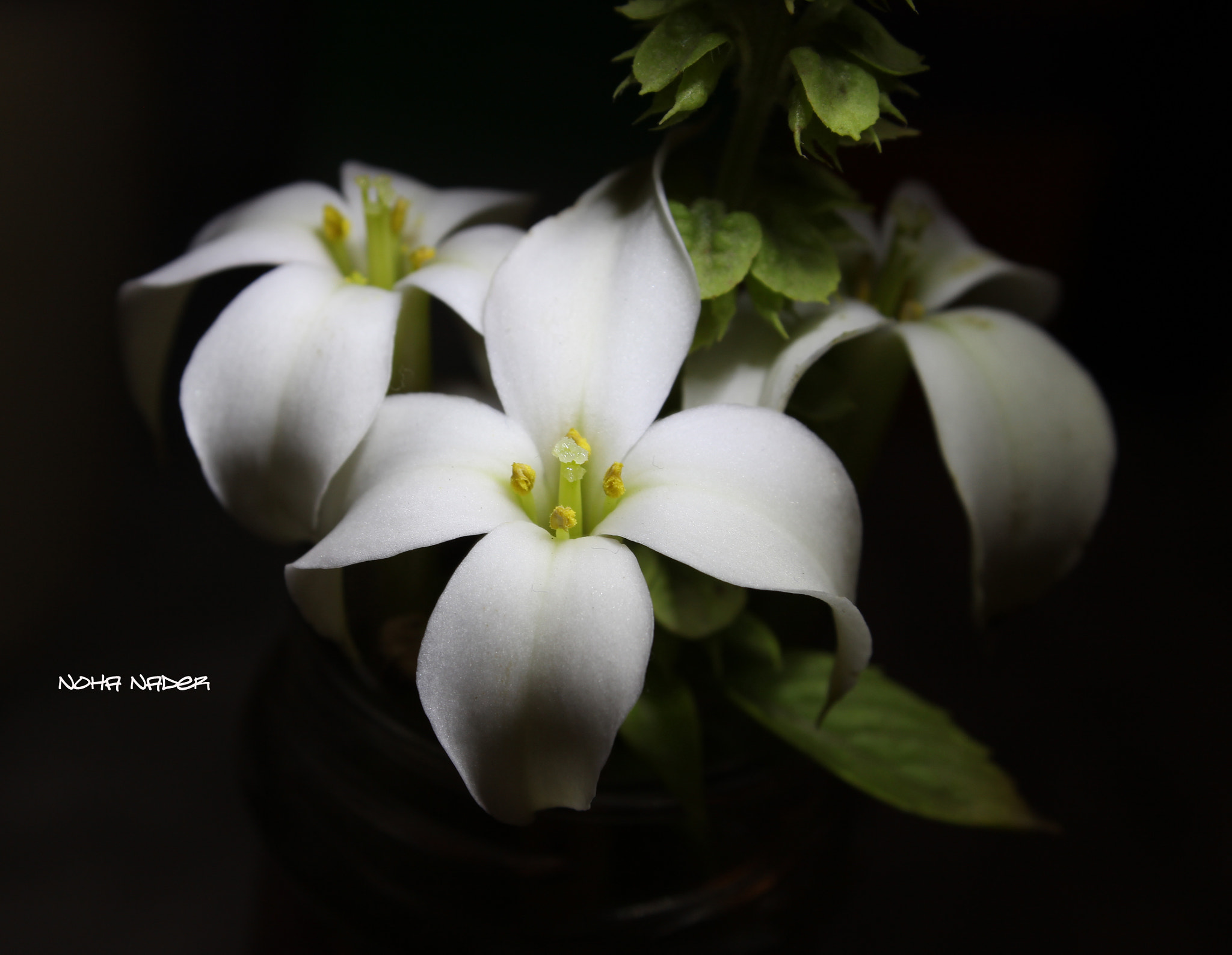 Photograph  flower white by Noha Nader on 500px