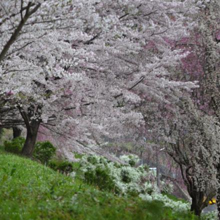 Cherry blossoms, Nikon D7000, AF Zoom-Nikkor 70-300mm f/4-5.6D ED