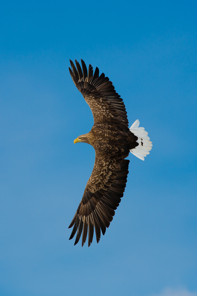 Photograph White tailed eagle by Akiko F on 500px