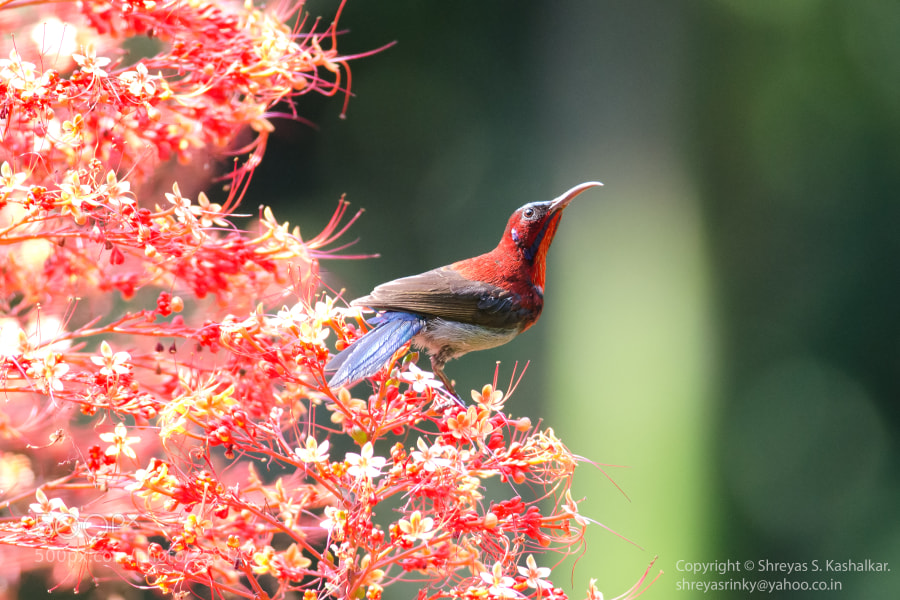 Photograph Crimson Sunbird by Shreyas Kashalkar on 500px