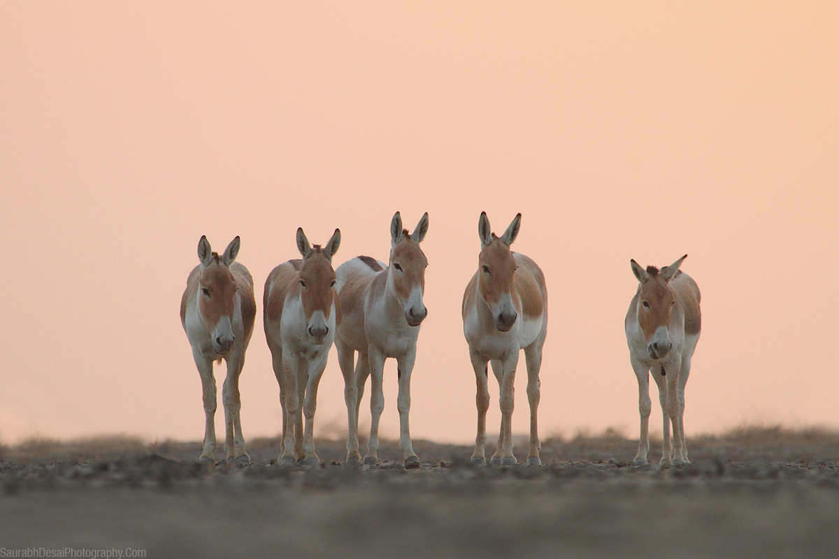 Photograph The Wild Wild Asses by Saurabh Desai on 500px