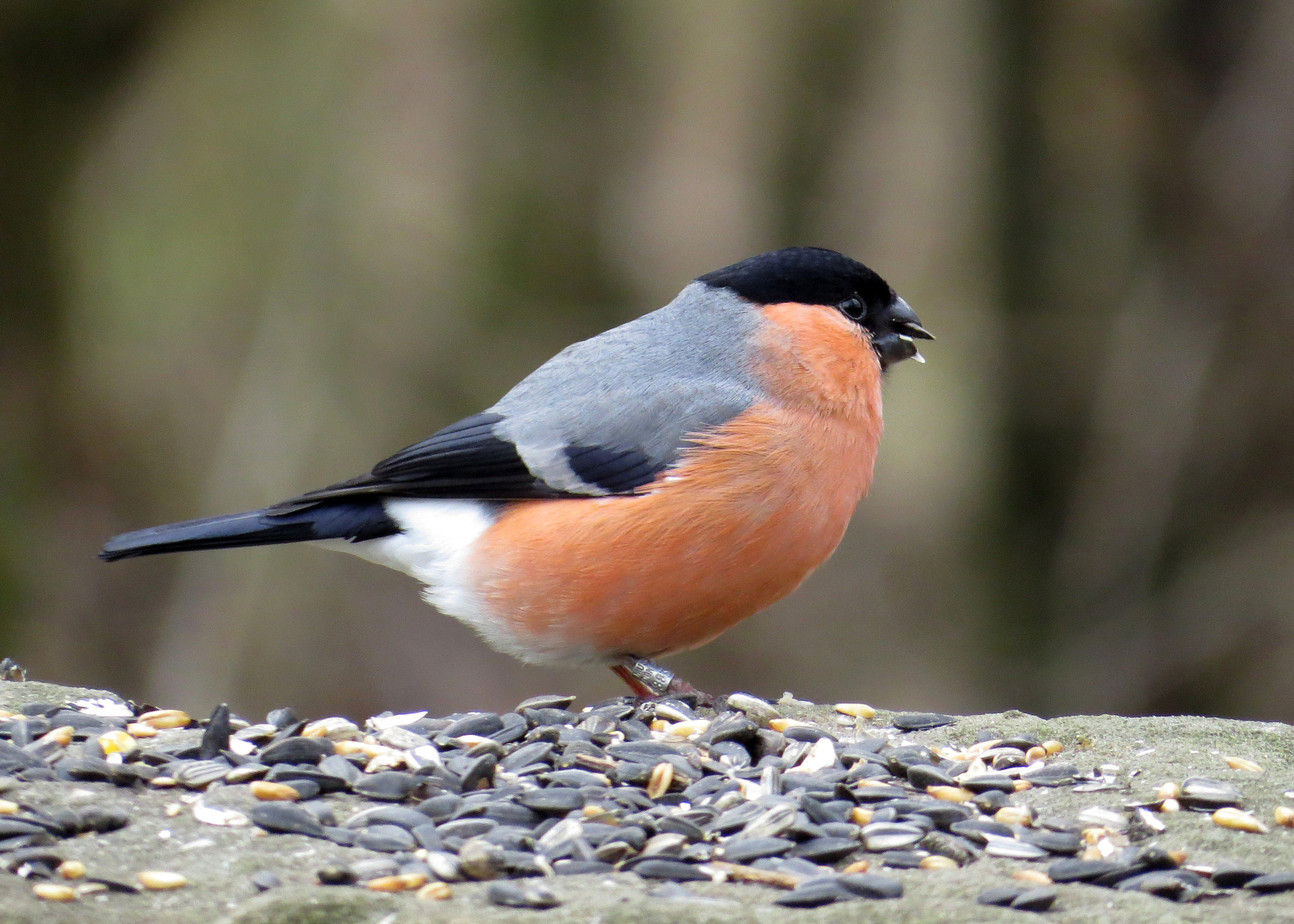 Photograph Male Bullfinch by Mike Rushton on 500px