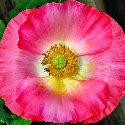 A Lovely Pink Flower, Canon POWERSHOT SX60 HS, 3.8 - 247.0 mm