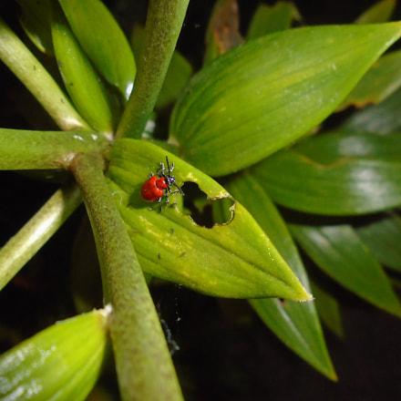 dsc00885 red beetle, Sony DSC-W800