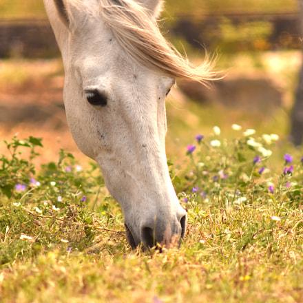 White horse, Nikon D3300, AF Zoom-Nikkor 75-300mm f/4.5-5.6