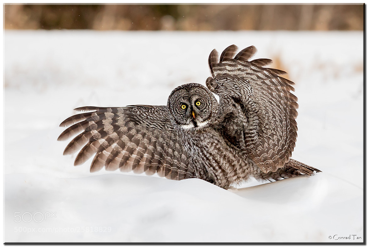 Photograph Great Grey Owl by Conrad Tan on 500px