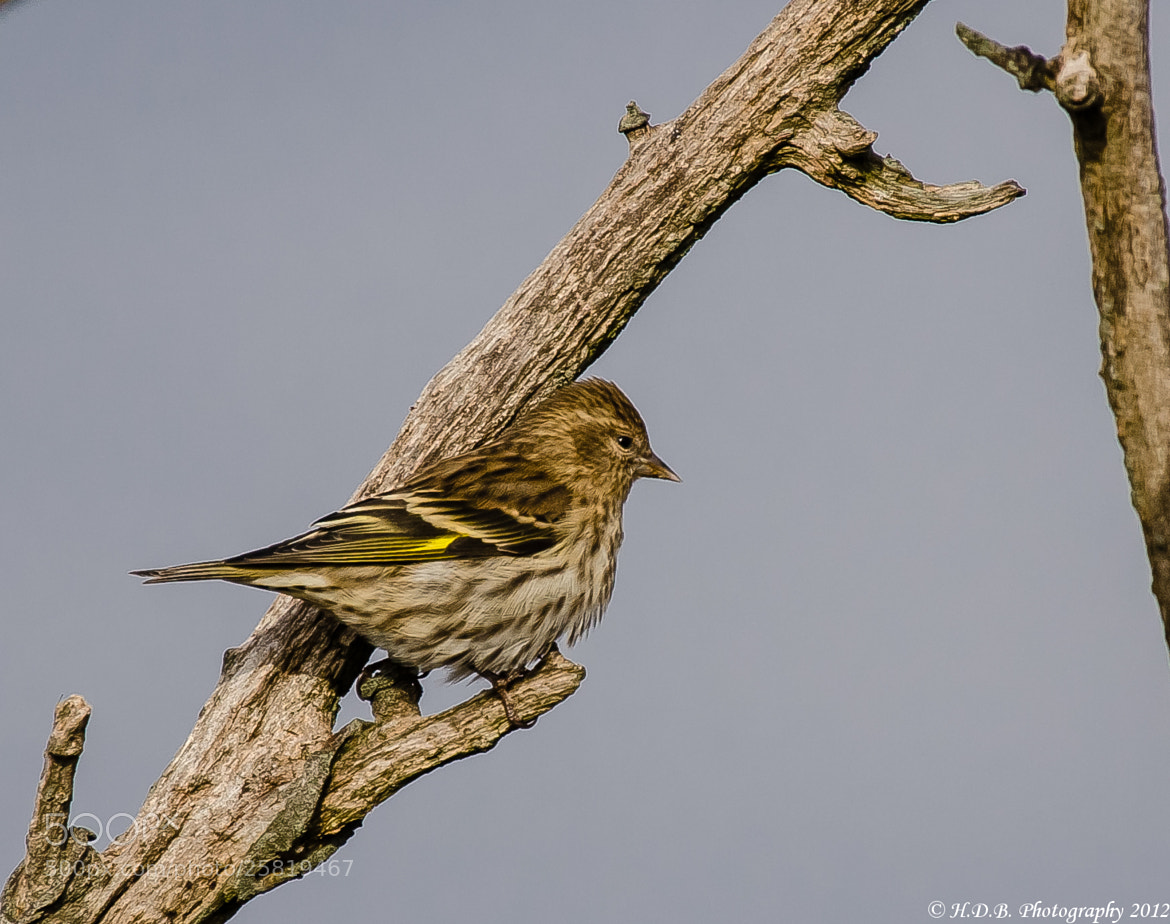 Photograph Pine Siskin by Harold Begun on 500px