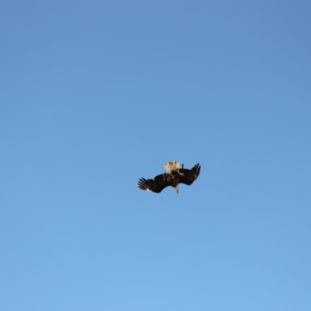 Bald Eagle, Canon EOS 500D, Canon EF-S 55-250mm f/4-5.6 IS