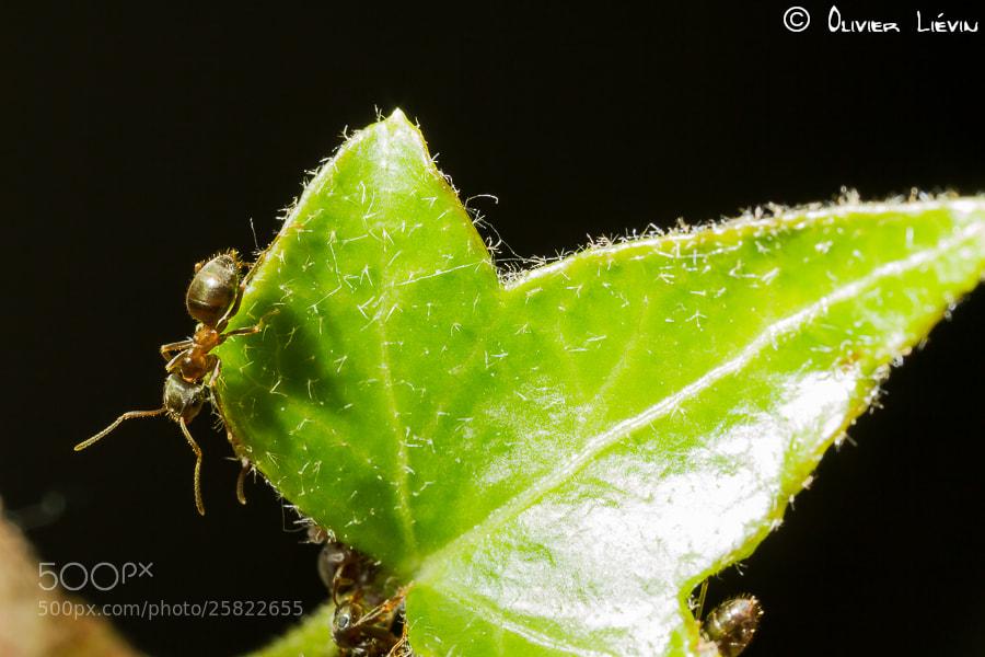 Photograph Ant (Fourmi) by Olivier Liévin on 500px