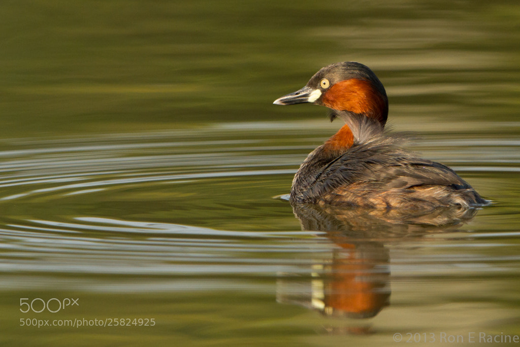Photograph Little Grebe by Ron E Racine on 500px