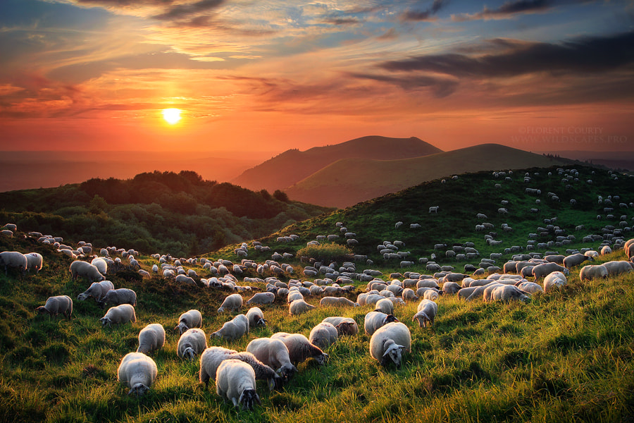Sheep and Volcanoes by Florent Courty on 500px