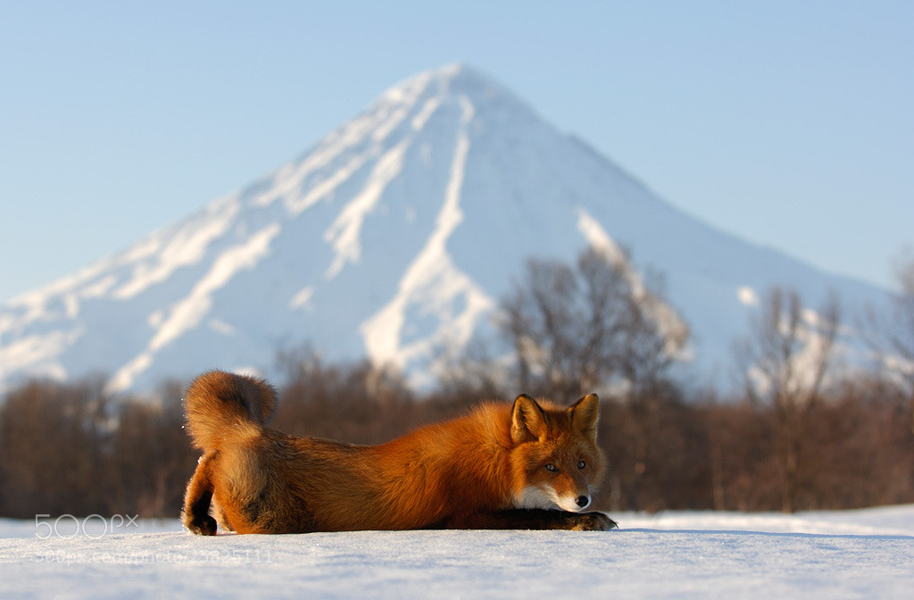 Photograph Mr. Fox and Kronotsky Volcano. by Igor Shpilenok on 500px