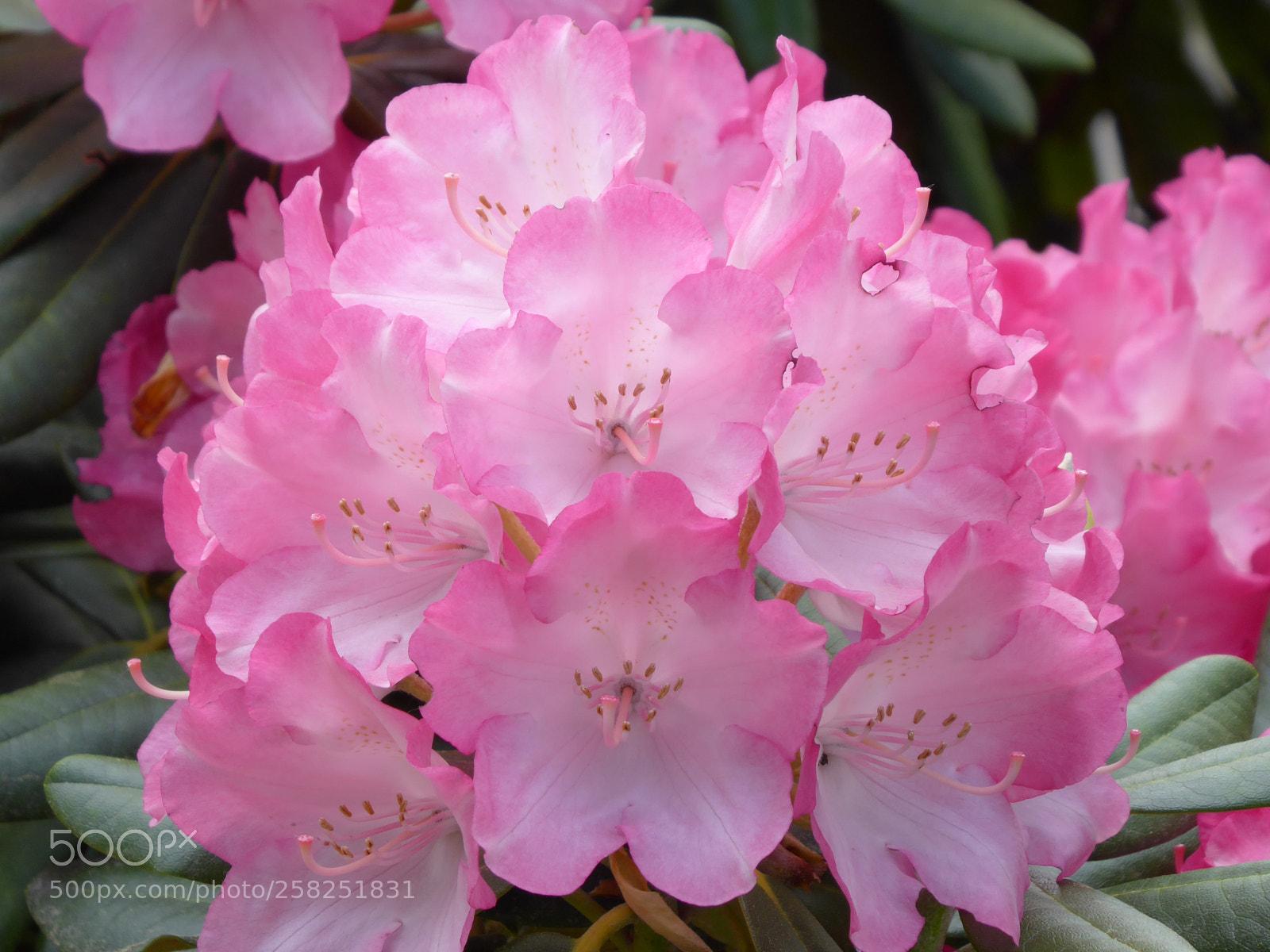 Macro Shot Of Pink, Panasonic DMC-TZ71