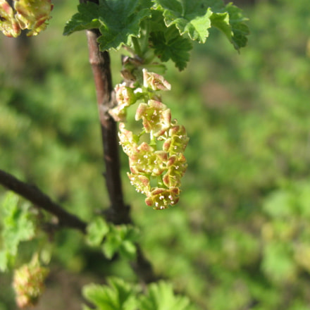 Flowering currant, Canon POWERSHOT A630