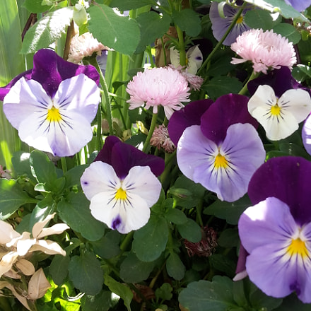A bunch of Pansies, Samsung Galaxy S5 Mini