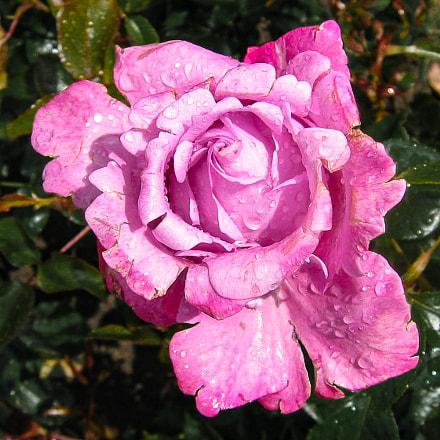 rose, Canon DIGITAL IXUS 400
