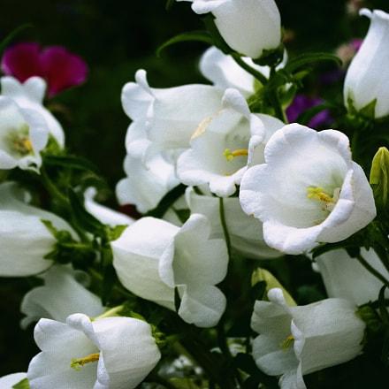 Flower, Pentax K200D, smc PENTAX-DA L 18-55mm F3.5-5.6 AL WR