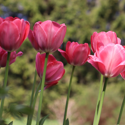 Tulips, Canon EOS 200D, Tamron SP 45mm f/1.8 Di VC USD