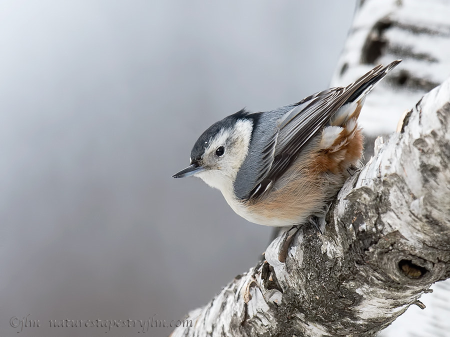 Photograph Winter Wonder  !!!  { white breasted nuthatch } by Judylynn Malloch on 500px