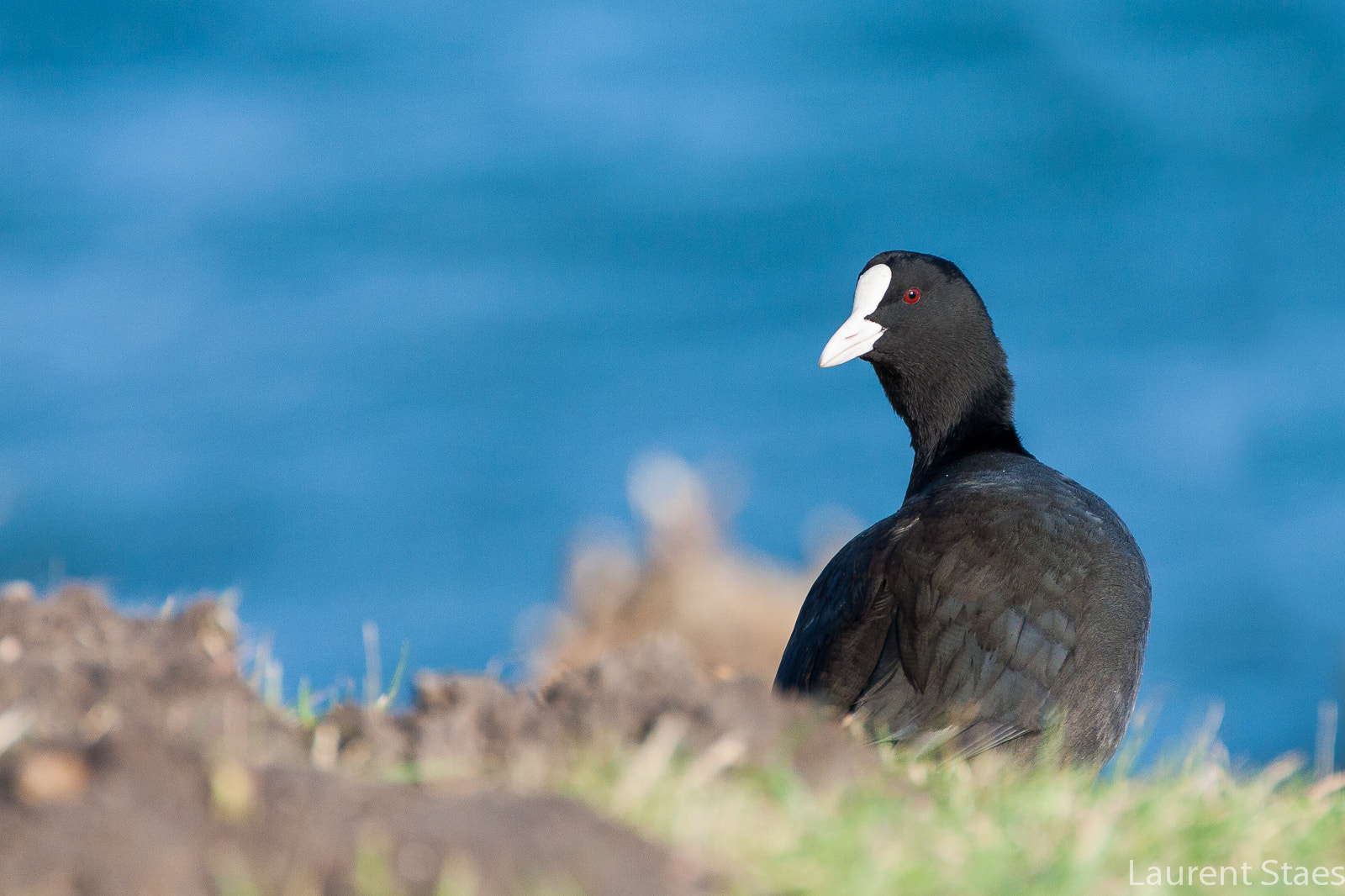 Photograph Coot by Laurent Staes on 500px