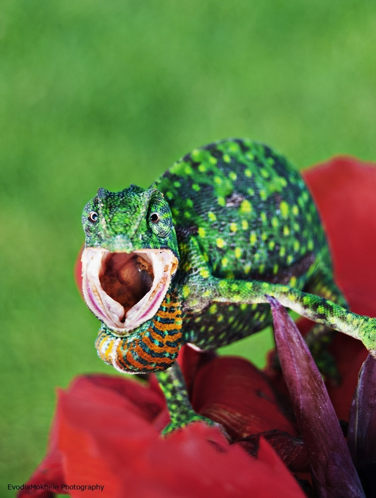 Photograph Chameleon  by Evodia Mokhele on 500px