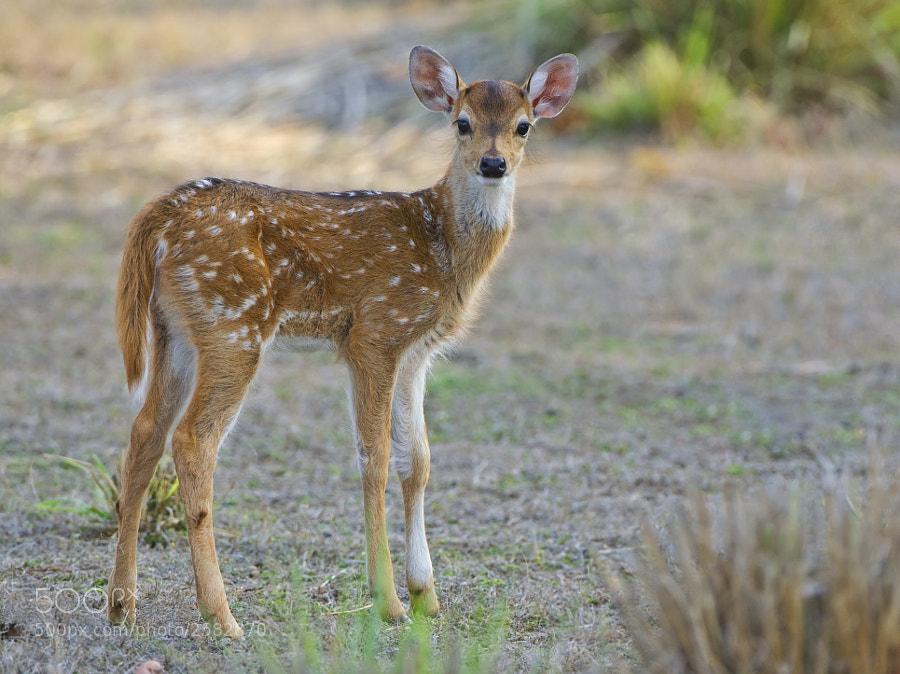 More commonly known as Spotted Deer, it is very difficult to get your driver to stop for something as mundane as a deer, but we managed a few times. This was taken in Kanha National Park, India, 1st May 2011