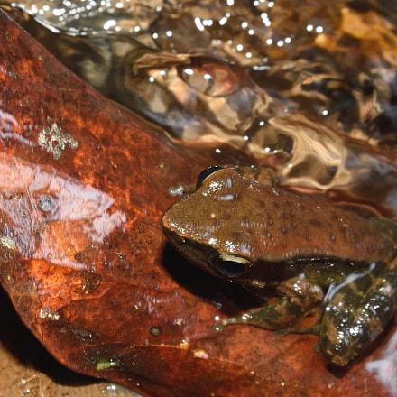 dancing frog, Nikon D750