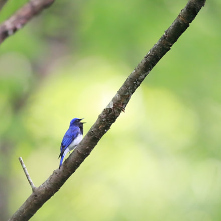 オオルリ Blue-and-White Flycatcher, Canon EOS-1D X MARK II, Canon EF 400mm f/2.8L IS II USM