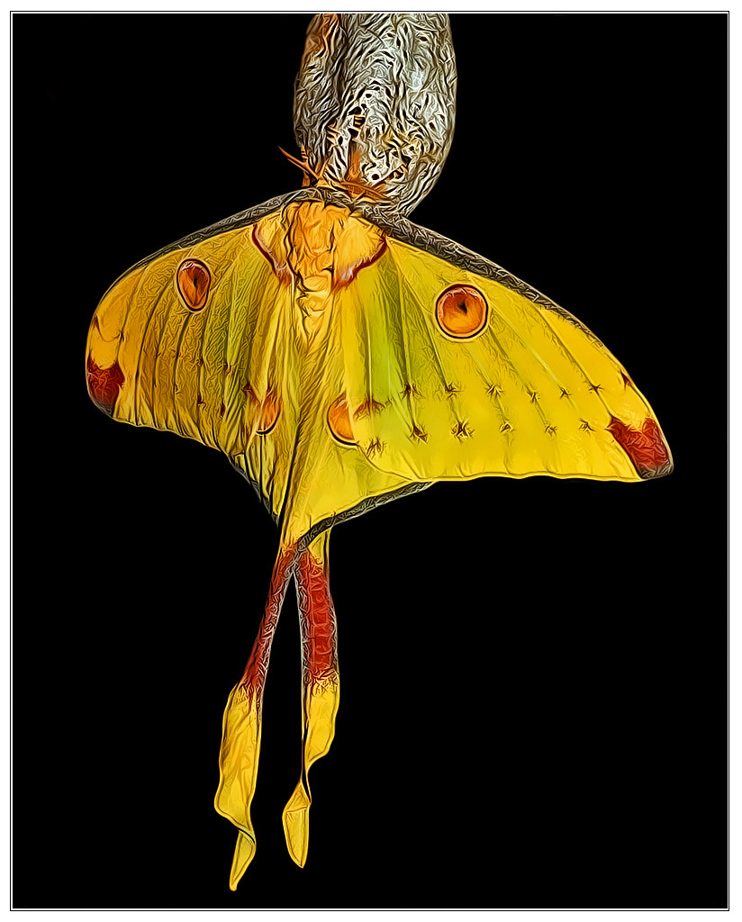 Photograph Madagascan moon moth by Klaus Wiese on 500px