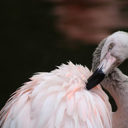 Flamingo 8041, Canon EOS REBEL T6I, Canon EF 75-300mm f/4-5.6 USM