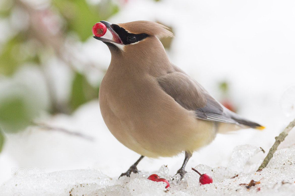 Photograph Cedar Waxwing with Berry in Snow by Tony Northrup on 500px