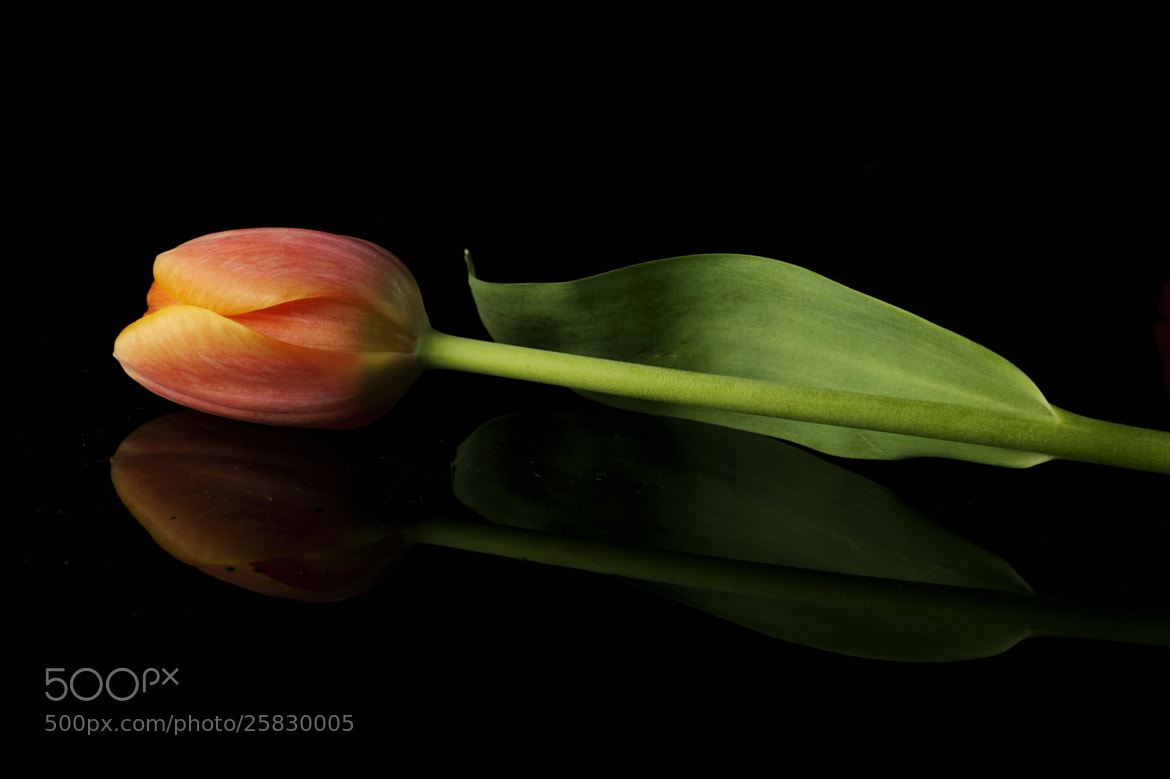 Photograph Tulip and reflection by Cristobal Garciaferro Rubio on 500px