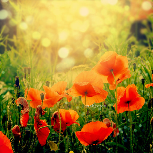 Photograph Poppies by Edyta Serafin on 500px