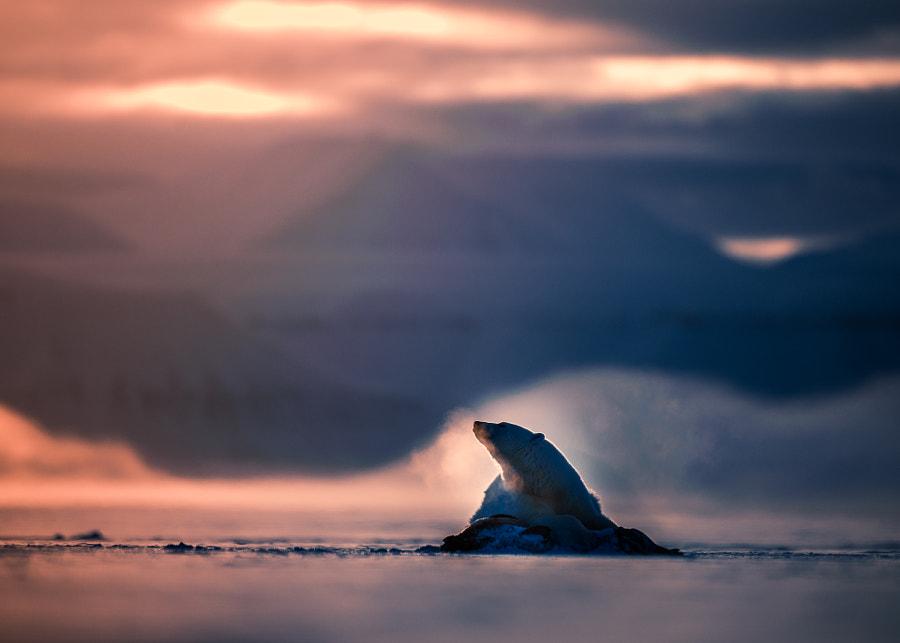 Polarbear with seal by Tor Eirik Pollestad on 500px.com